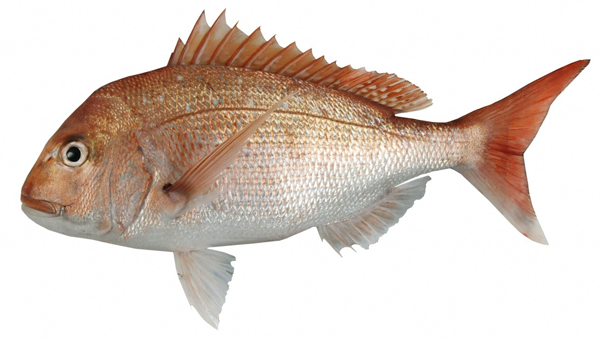 Snapper mpi ministry for primary industries a new for Scientific name of fish