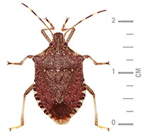 adult brown marmorated stink bugs measure 14-17mm long