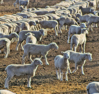 sheep on dry ground