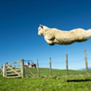 sheep jumps over fence120x114