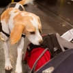 detector dog inspecting bags on conveyor belt