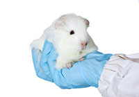 guinea pig in vets hand