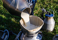 raw milk filtered into a milk can