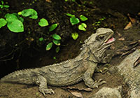 tuatara on ground