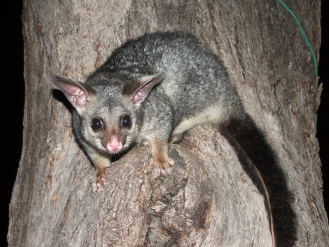 possum on a tree